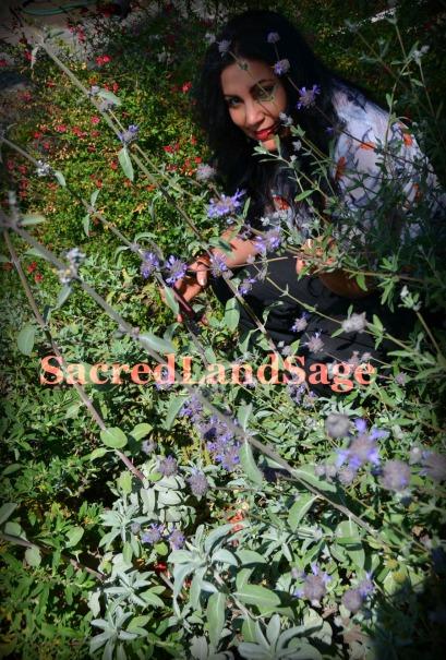 TaraSageHarvest-SacredLandSage035M-SLS