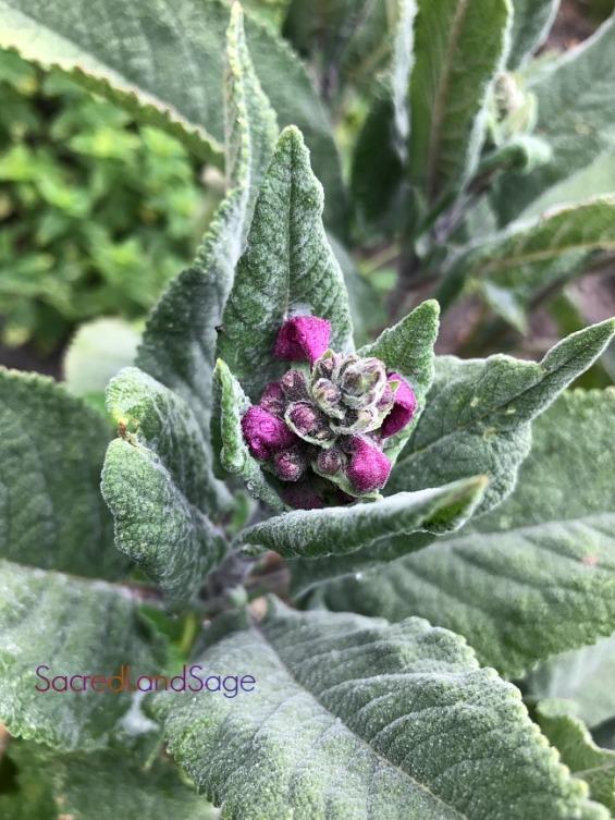 Peru Sage-IMG_4392-M