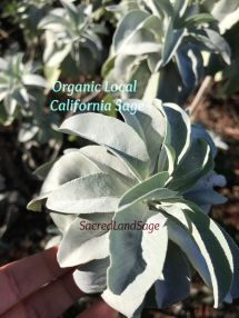 california White sage-M-IMG_1795