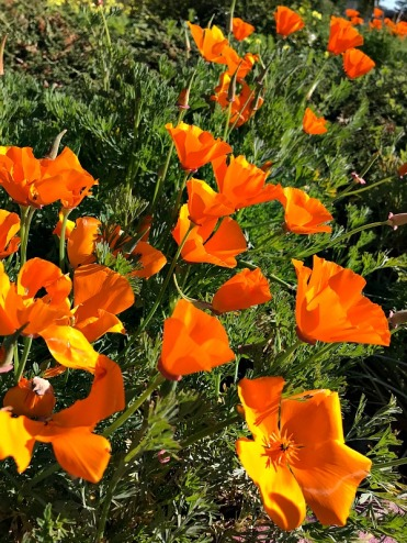 Poppies-IMG_7905